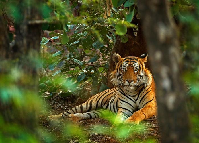 tigern i djungeln